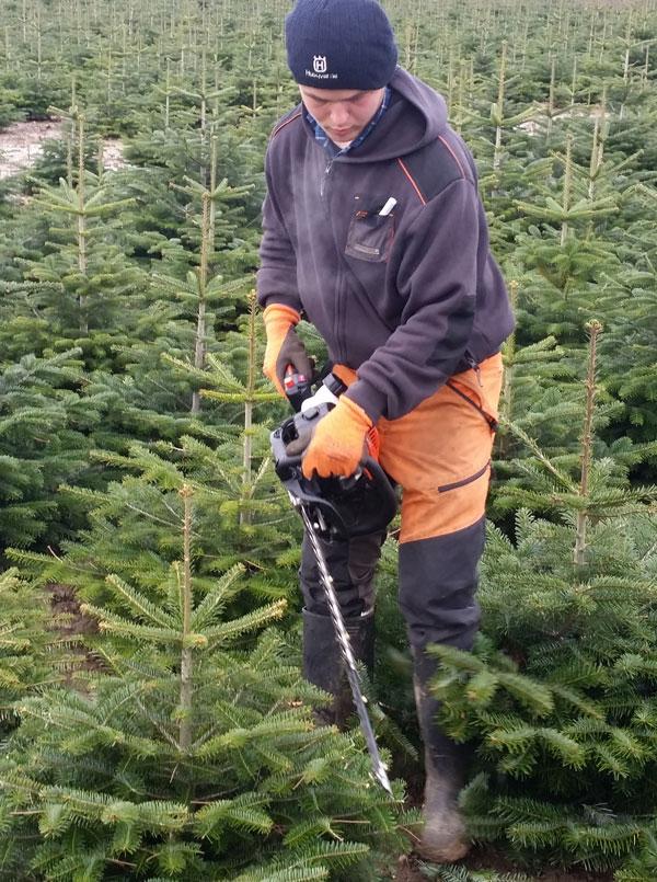 Weihnachtsbäume Formschnitt mit Heckenschere